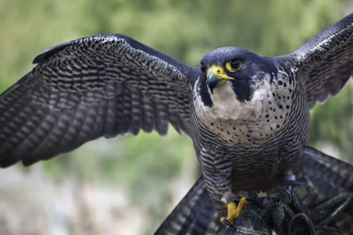 A close-up of a peregrine falcon.