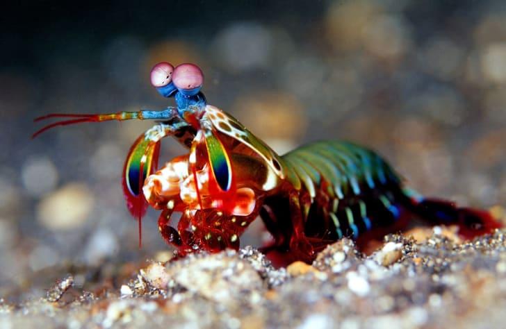 A mantis shrimp on the ocean floor.