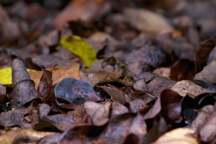 And Etruscan shrew blends in with fallen leaves.