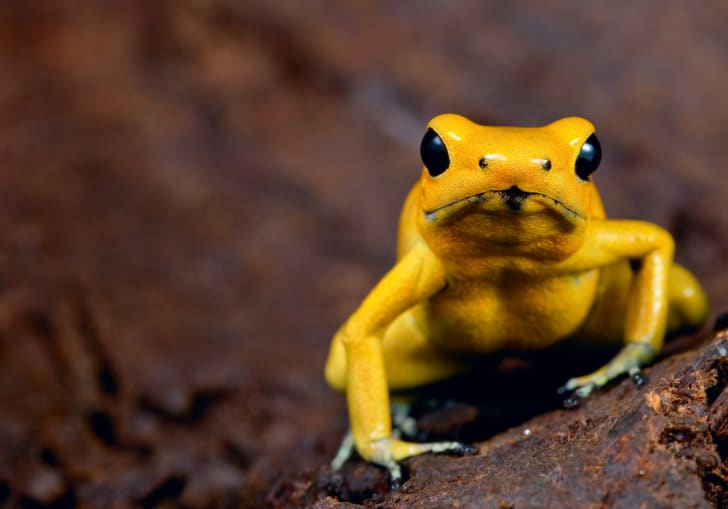 A close-up of a golden poison frog.
