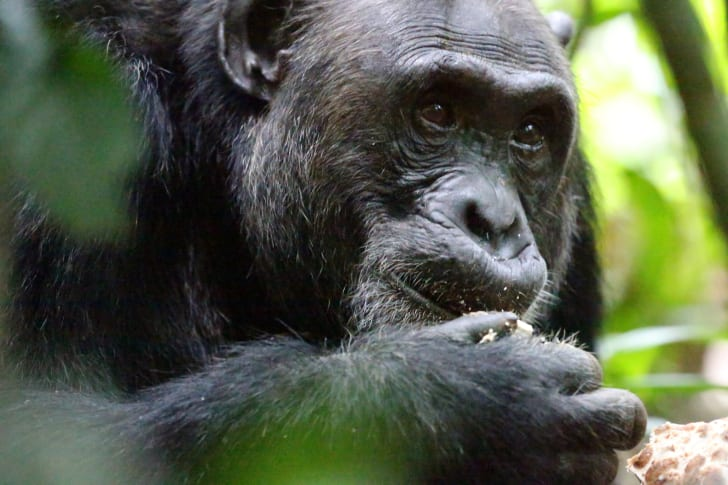 Close-up of a chimpanzee's face.