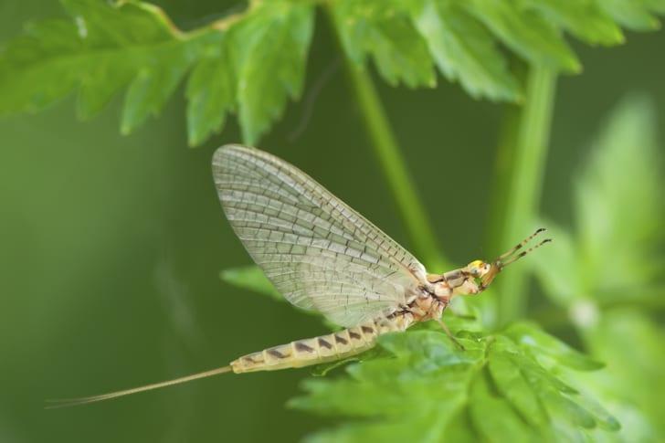 A mayfly on a leaf