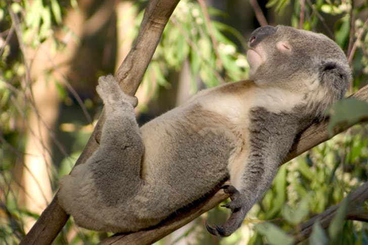 A koala sleeping on its back on a branch of a tree