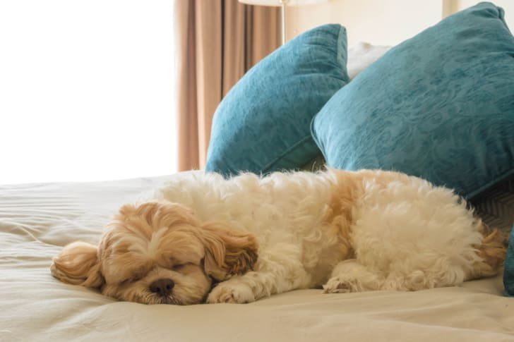 dog laying down on bed