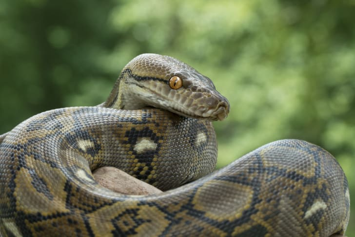 Image of a scaly green python