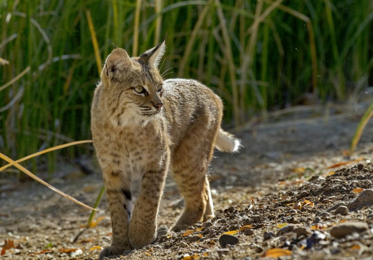 Bobcat surrounded by grass