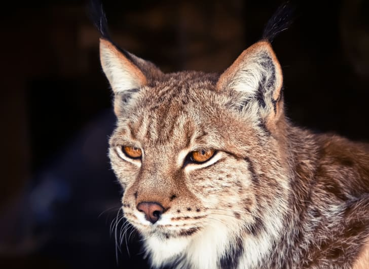 Close-up of a bobcat face surrounded by a dark background