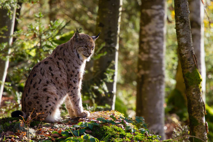 I couldn't find a stock photo of a bobcat-lynx hybrid, so this is just a bobcat again. It's sitting on a mound of grass surrounded by some trees.