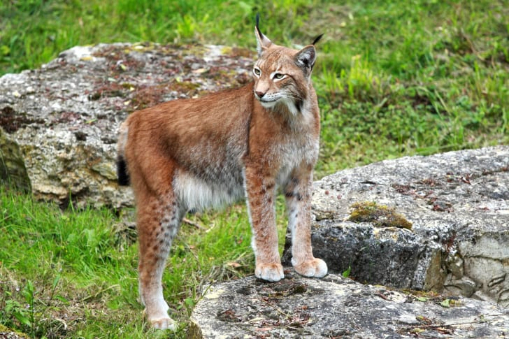 Bobcat standing on a rock and looking off to one side