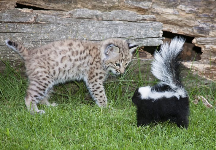 Really adorable picture of a bobcat kitten interacting with a skunk