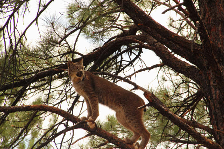 Bobcat perched on a tree branch