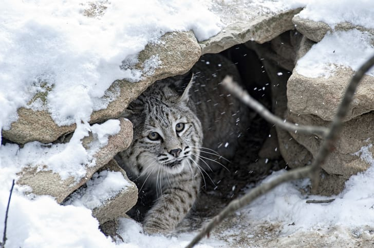 Bobcat peeking out from a shelter of rocks covered in snow