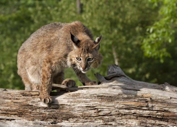 Bobcat sitting on a log