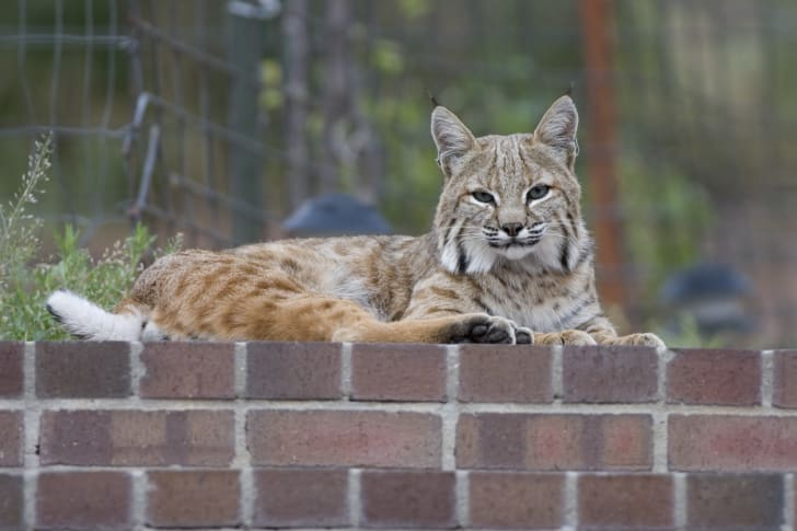 Bobcat sitting on a brick wall