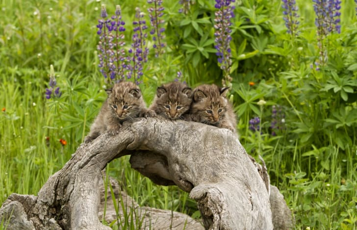 Adorable photo of three bobcat kittens hanging from an oddly shaped log