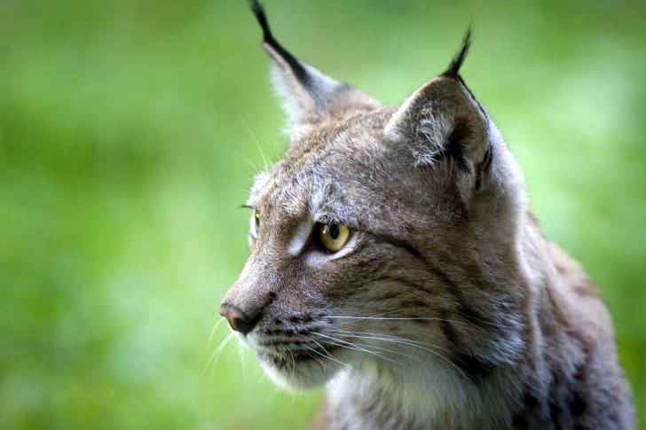 Close up image of a bobcat's face