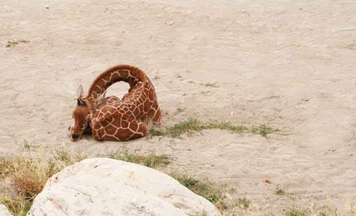 Baby giraffe sleeping on the ground