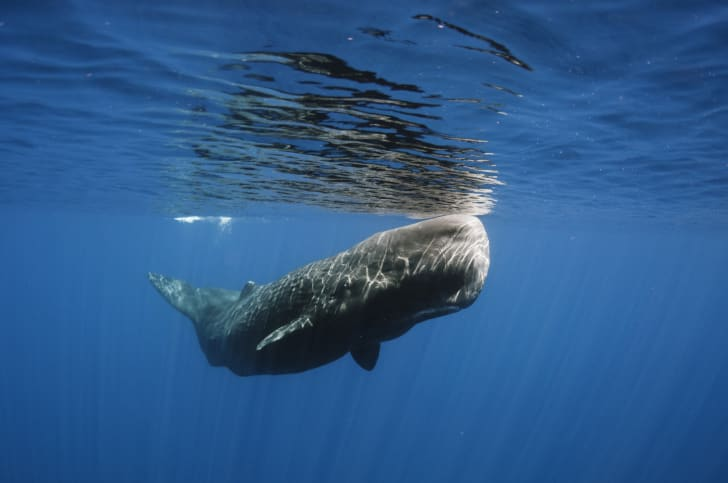 A sperm whale floats near the surface of the water.