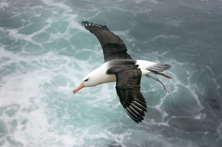 An albatross flying over the waves.