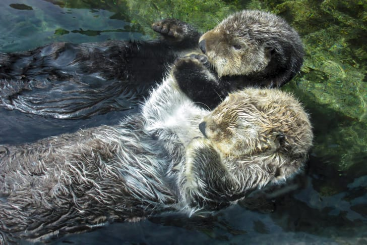 Two sleeping otters holding hands in the water.