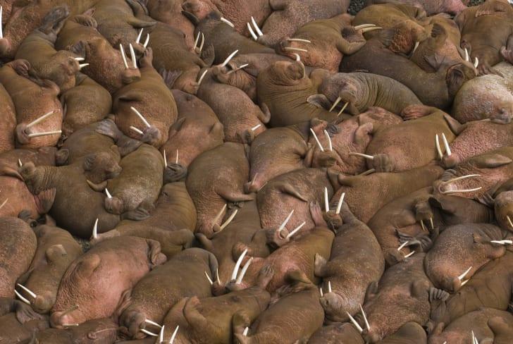 Hundreds of walruses sleeping together.