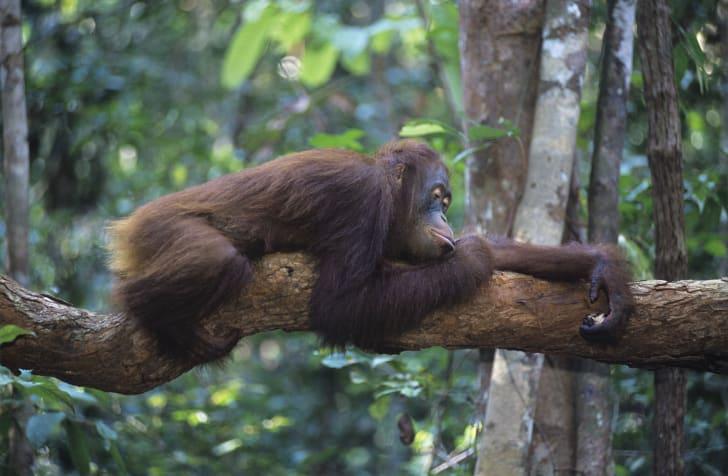 Orangutan sleeping on a tree limb.
