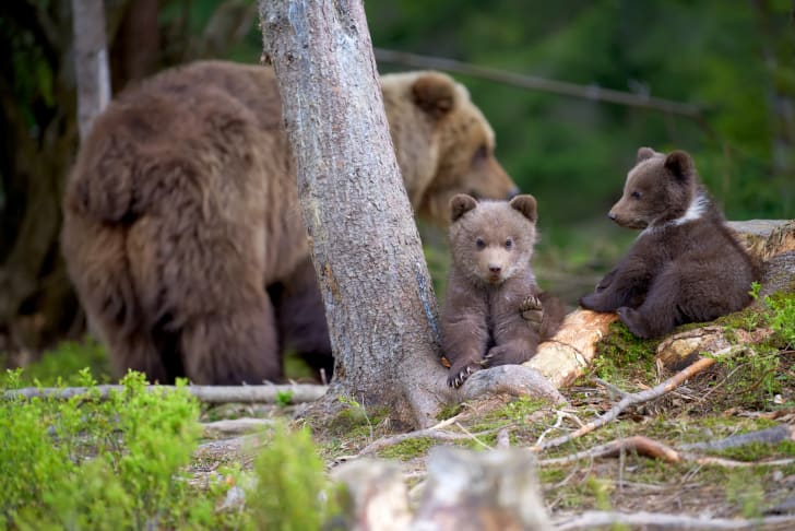 Mother bear and two cubs in the woods.