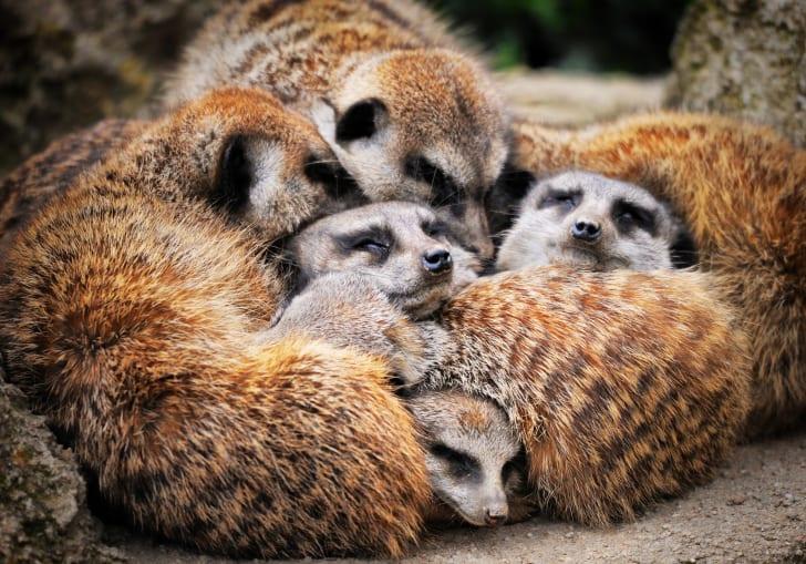 A pile of sleeping meerkats.