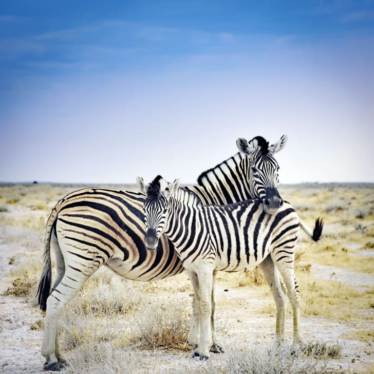 A zebra mother and her foal standing in the desert.