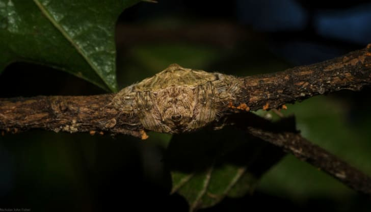 The Dolophones conifera spider hangs on a tree branch