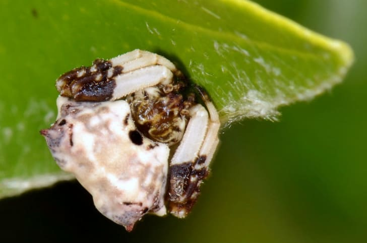 The Celaenia excavata spider rests on a leaf