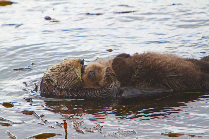 A mother and baby otter floating in the water