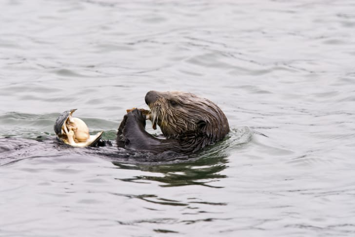 An otter in the water eating a clam