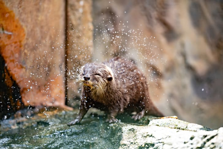 An otter shaking water off of itself