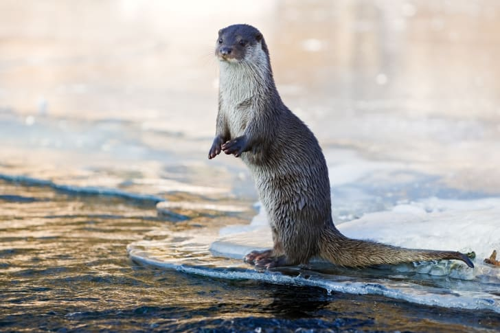 An otter standing along the water's edge