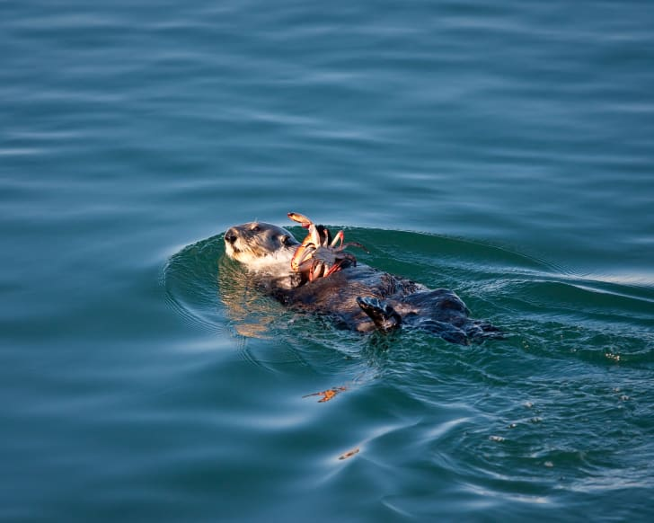 An otter carrying a crab it caught