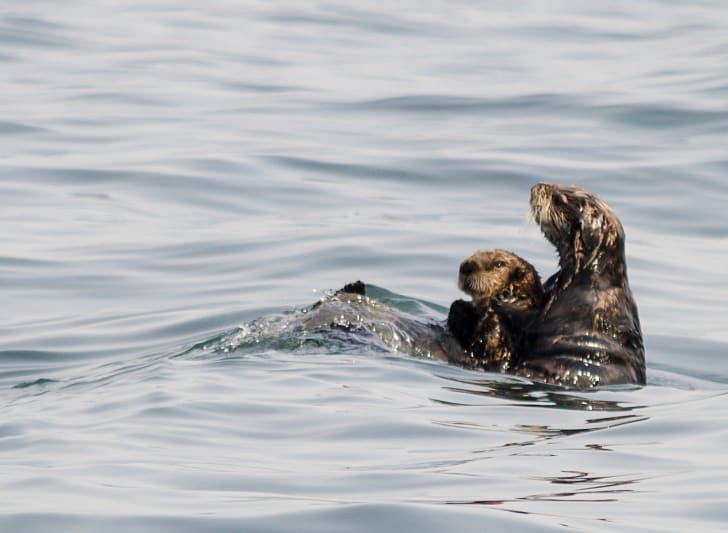 Mother otter holding baby otter up in the water