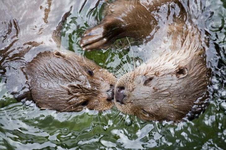 Two otters in the water.