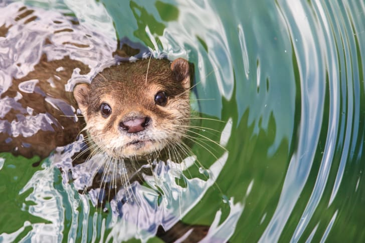 An otter looking up from the water.