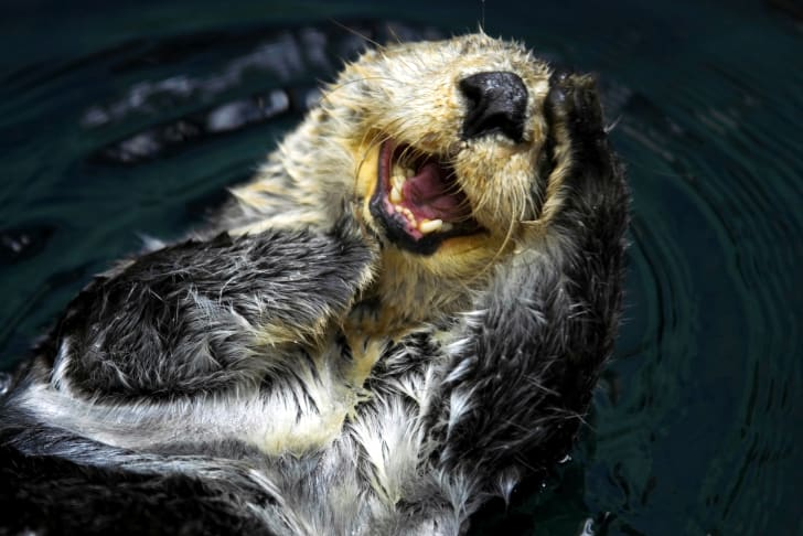 Otter seemingly smiling in the water.