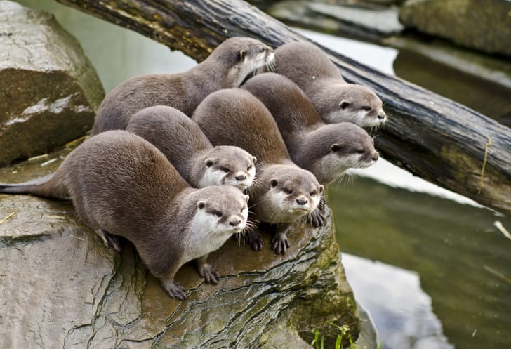 Six otters sitting together.