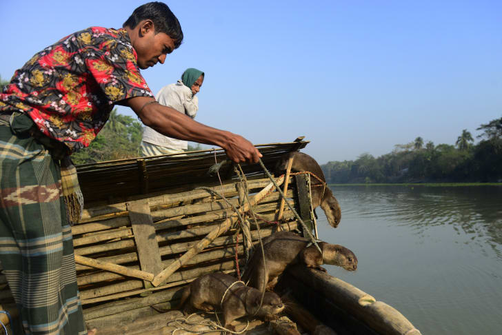 Bangladeshi man prepares to send his trained otters in to go fishing.