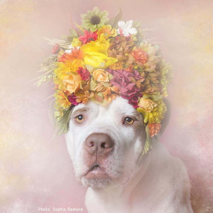A pit bull with a flower crown