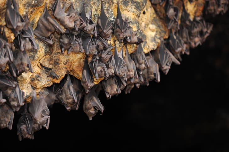 A colony of bats
