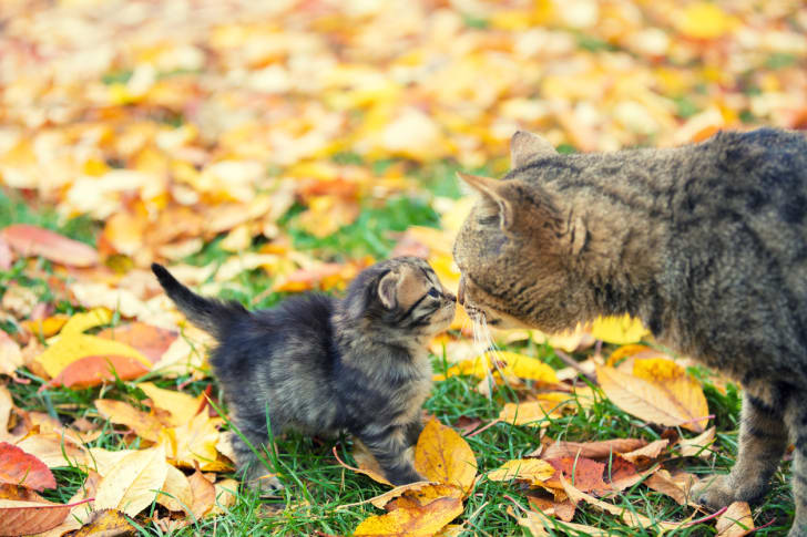 An adult cat touches noses with a grey, fluffy kitten with a background of fallen autumn leaves.