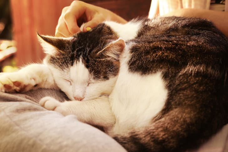 A cat is sleeping on its owner's lap.