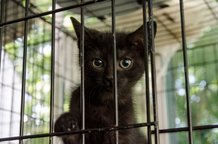 A black kitten peeks out from behind the bars of a shelter cage.