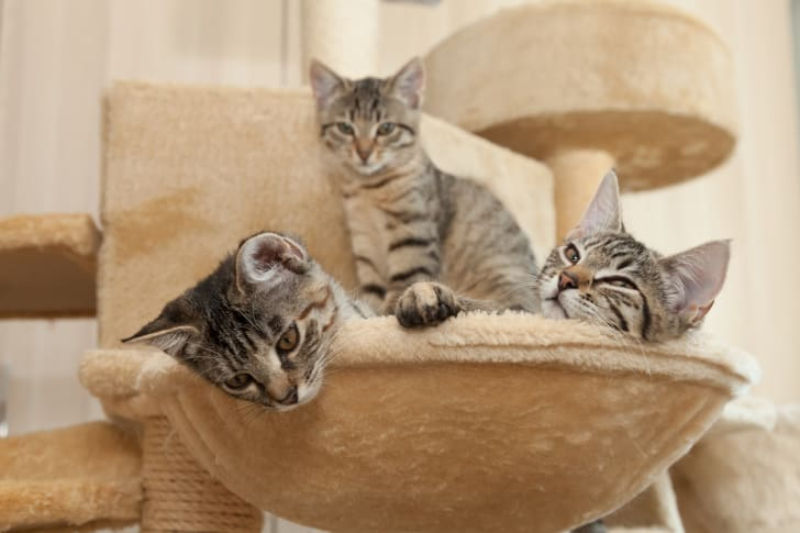 Three grey and black kittens lounging on a piece of carpeted cat furniture.