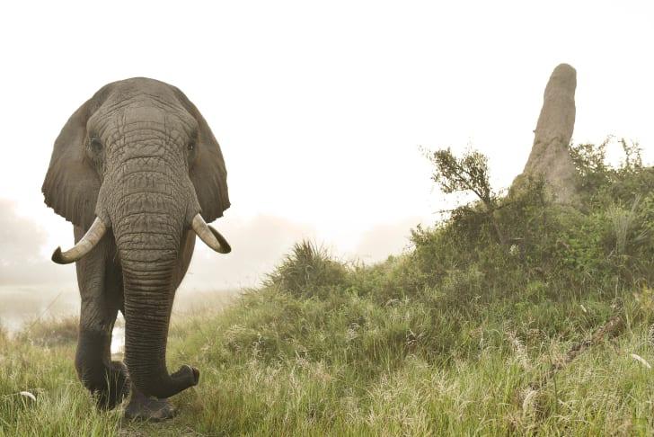 Jabu the elephant.