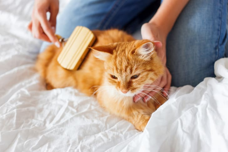 A pet owner brushing an orange cat's fur on a white bedspread.